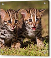 Dazed And Confused Acrylic Print by Ashley Vincent
