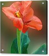 Delicate Red-orange Canna Blossom Acrylic Print by Linda Phelps