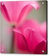 Delicate Tulip Curves Acrylic Print by Mike Reid