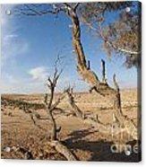 Desert Tamarix Trees Acrylic Print by Dan Yeger