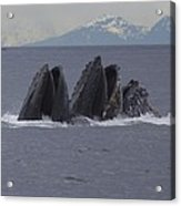 Detail Of Humpback Whales Feeding Acrylic Print by Tim Grams