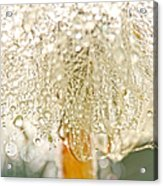 Dew Drops On Dandelion Acrylic Print by Peggy Collins