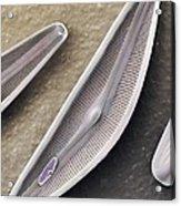 Diatom Frustules (sem) Acrylic Print by Science Photo Library