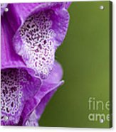 Digitalis Abstract Acrylic Print by Anne Gilbert