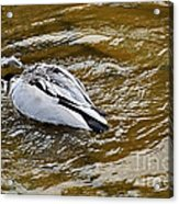 Diving Duck Acrylic Print by Kaye Menner