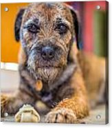 Dog And Chew. Acrylic Print by Gary Gillette