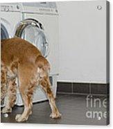 Dog And Washing Machine Acrylic Print by Mats Silvan