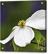 Dogwood Blossom - D001797 Acrylic Print by Daniel Dempster