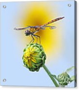 Dragonfly In Sunflowers Acrylic Print by Robert Frederick