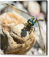Dragonfly Acrylic Print by Marco Oliveira