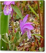 Dragon's Mouth Orchids #2 Acrylic Print by Sandra Updyke