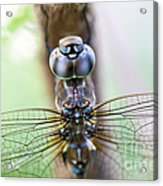 Dreaming With A Dragonfly Acrylic Print by Scotts Scapes