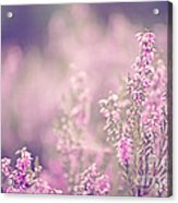 Dreamy Pink Heather Acrylic Print by Natalie Kinnear