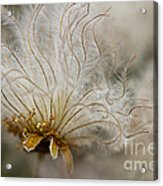 Dryas Octopetala Acrylic Print by Heiko Koehrer-Wagner