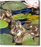 Duck Soup 2 Acrylic Print by Fraida Gutovich