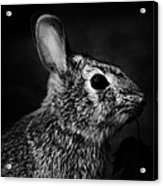 Eastern Cottontail Rabbit Portrait Acrylic Print by Rebecca Sherman