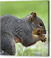 Eastern Fox Squirrel Acrylic Print by Brandon Alms