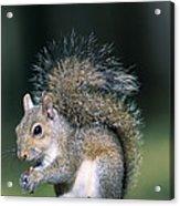 Eastern Gray Squirrel Acrylic Print by Millard H. Sharp