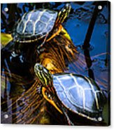 Eastern Painted Turtles Acrylic Print by Bob Orsillo