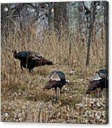Eastern Wild Turkeys Acrylic Print by Linda Freshwaters Arndt
