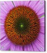 Echinacea Purpurea Rubinglow Flowers Acrylic Print by Tim Gainey