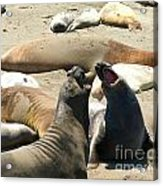Elephant Seal Birthing Grounds Two Elephant Seal Bulls Fighting Acrylic Print by Artist and Photographer Laura Wrede