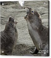 Elephant Seal Confrontation Acrylic Print by Mark Newman