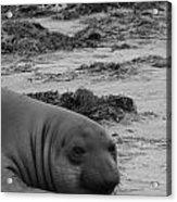 Elephant Seal Conteplation Acrylic Print by Gwendolyn Barnhart
