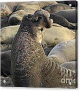 Elephant Seals Acrylic Print by Bob Christopher