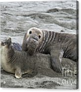 Elephant Seals Mating Acrylic Print by Mark Newman