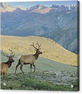 Elk Surprise.. Acrylic Print by Al  Swasey