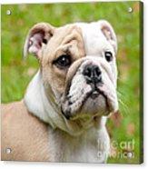 English Bulldog Puppy Acrylic Print by Natalie Kinnear