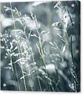 Evening Grass Flowering Acrylic Print by Elena Elisseeva