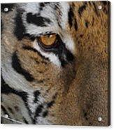 Eye Of The Tiger Acrylic Print by Ernie Echols