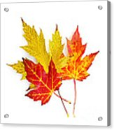 Fall Maple Leaves On White Acrylic Print by Elena Elisseeva