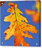 Fall Oak Leaf Acrylic Print by Elena Elisseeva