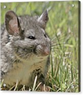 Fat Norway Rat Acrylic Print by Christine Till