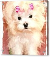 Faux Maltese Bella Acrylic Print by Margaret Newcomb