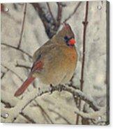 Female Cardinal In The Snow II Acrylic Print by Sandy Keeton