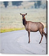 Female Elk Crossing The Road At Yellowstone Acrylic Print by Andres Leon