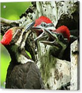 Female Pileated Woodpecker At Nest Acrylic Print by Mircea Costina Photography