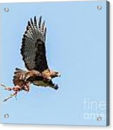 Female Red-tailed Hawk In Flight Acrylic Print by Carl Jackson