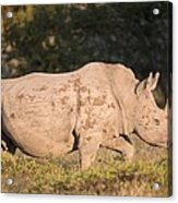 Female White Rhinoceros Acrylic Print by Science Photo Library