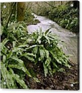 Ferns (asplenium Scolopendrium) Acrylic Print by Science Photo Library