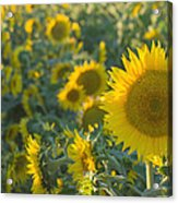 Field Of Happiness Acrylic Print by Rima Biswas