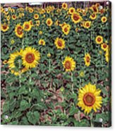 Field Of Sunflowers Acrylic Print by Adrian Evans