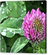 Fields Of Clover Acrylic Print by JC Findley