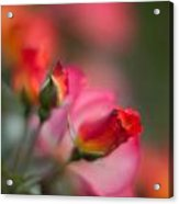 Fiery Roses Acrylic Print by Mike Reid