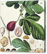 Fig Engraved By Johann Jakob Haid  Acrylic Print by German School