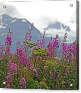 Fireweed Acrylic Print by Jim Cook